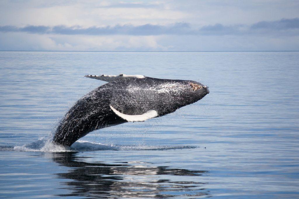 A humpback whale glides through the water in Alaskan seas.