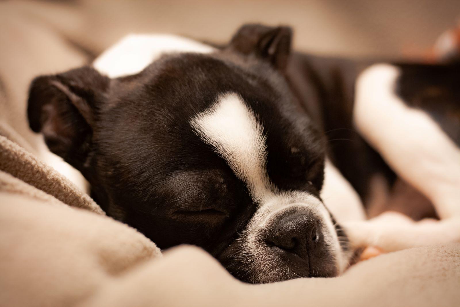 Sleeping Black and White Boston Terrier on a tan blanket
