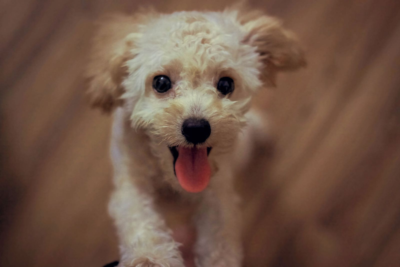 Cream Colored Miniature Poodle Standing on hind legs.