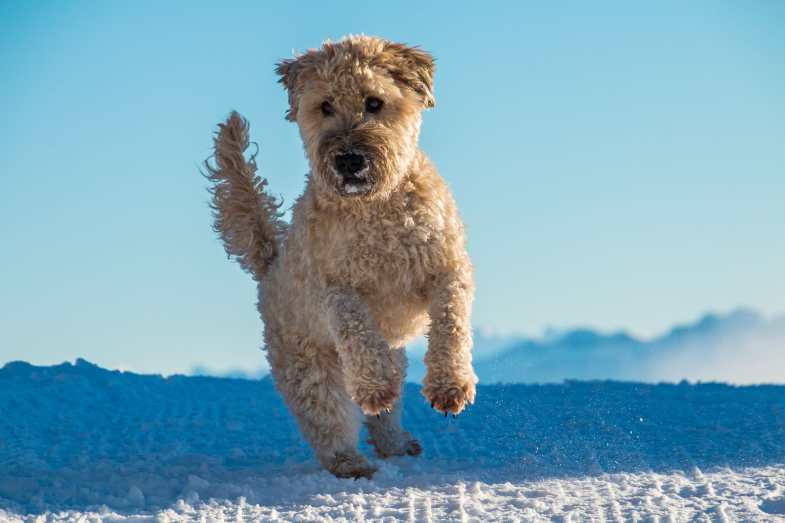Wheaten Terrier jumping in the snow with a blue sky in the background