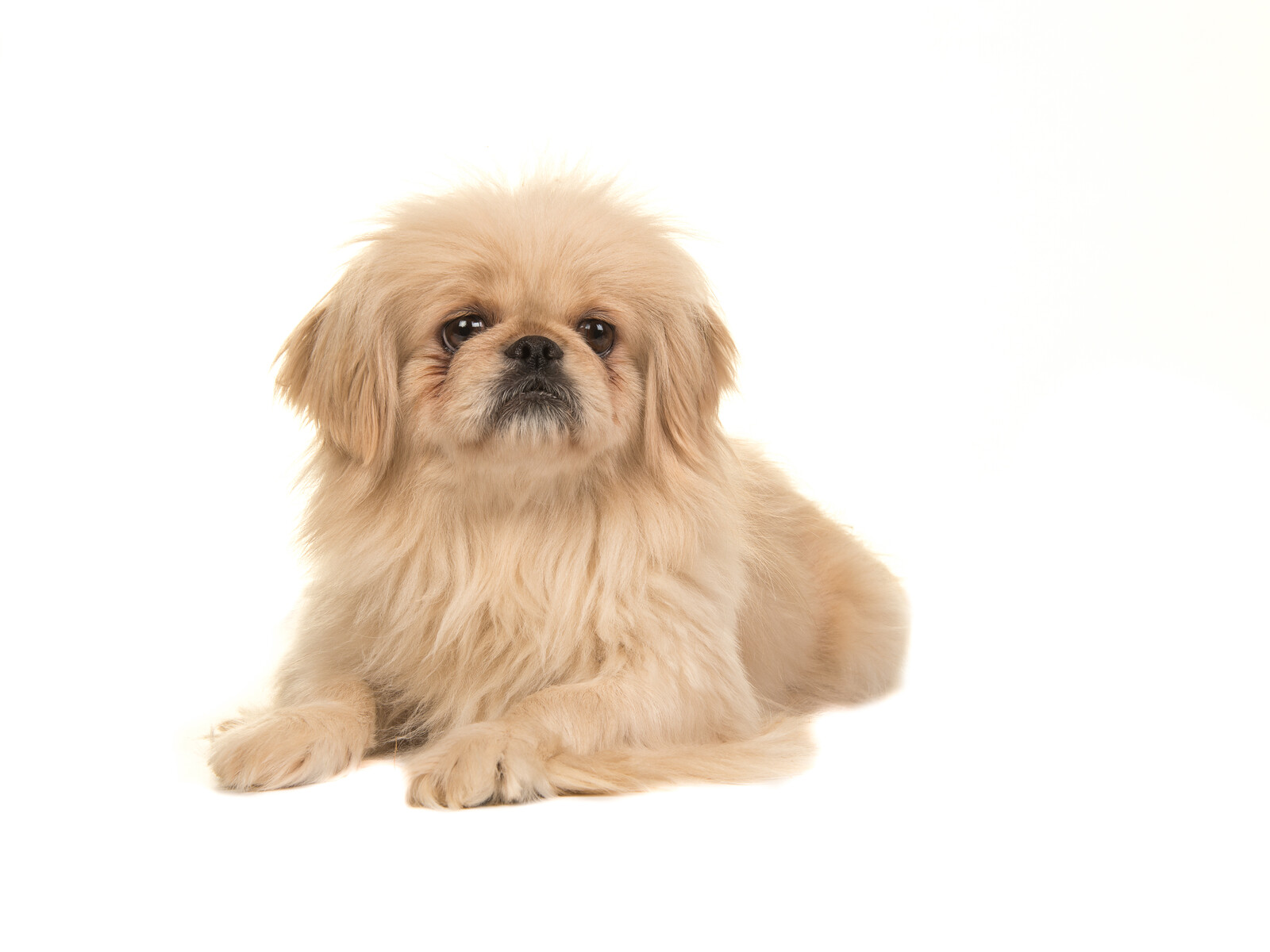 Buff Colored Tibetan Spaniel laying down with a white background