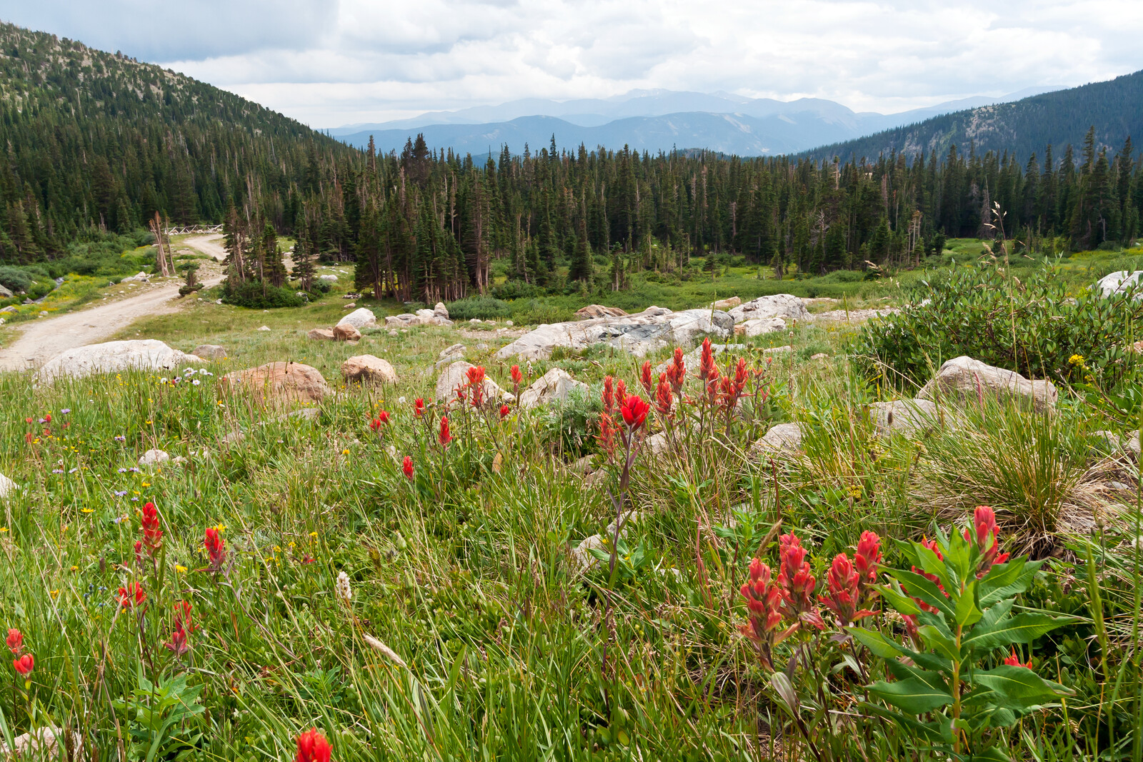 Red Wildflowers framing a dirt road, evergreens at the  base of the hills mountains in the background, white billowy clouds