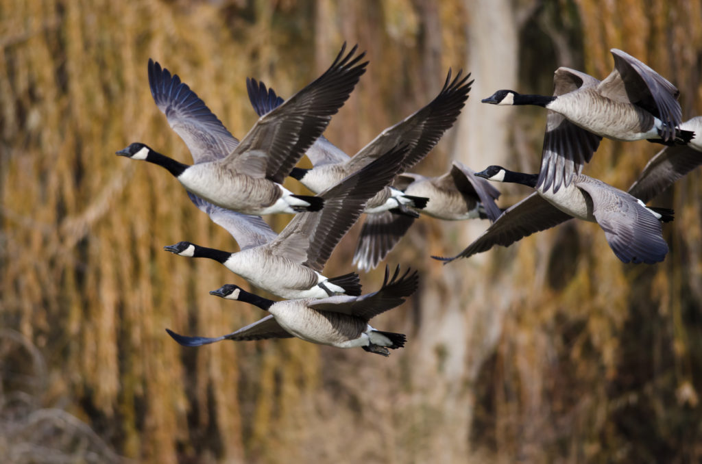 A flock of Canadian geese