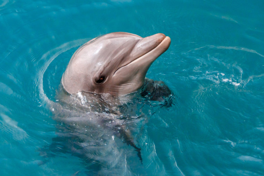 A dolphin in the water