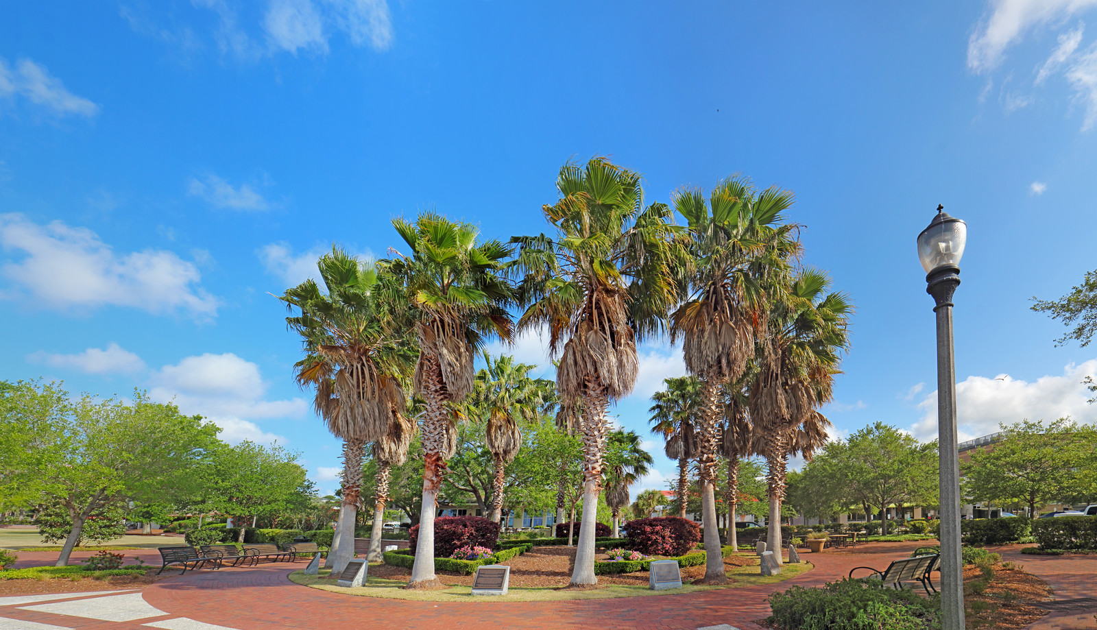 Circle of Sabal palmetto trees in the Henry c. chambers waterfront park off of bay street in downtown Beaufort, south Carolina