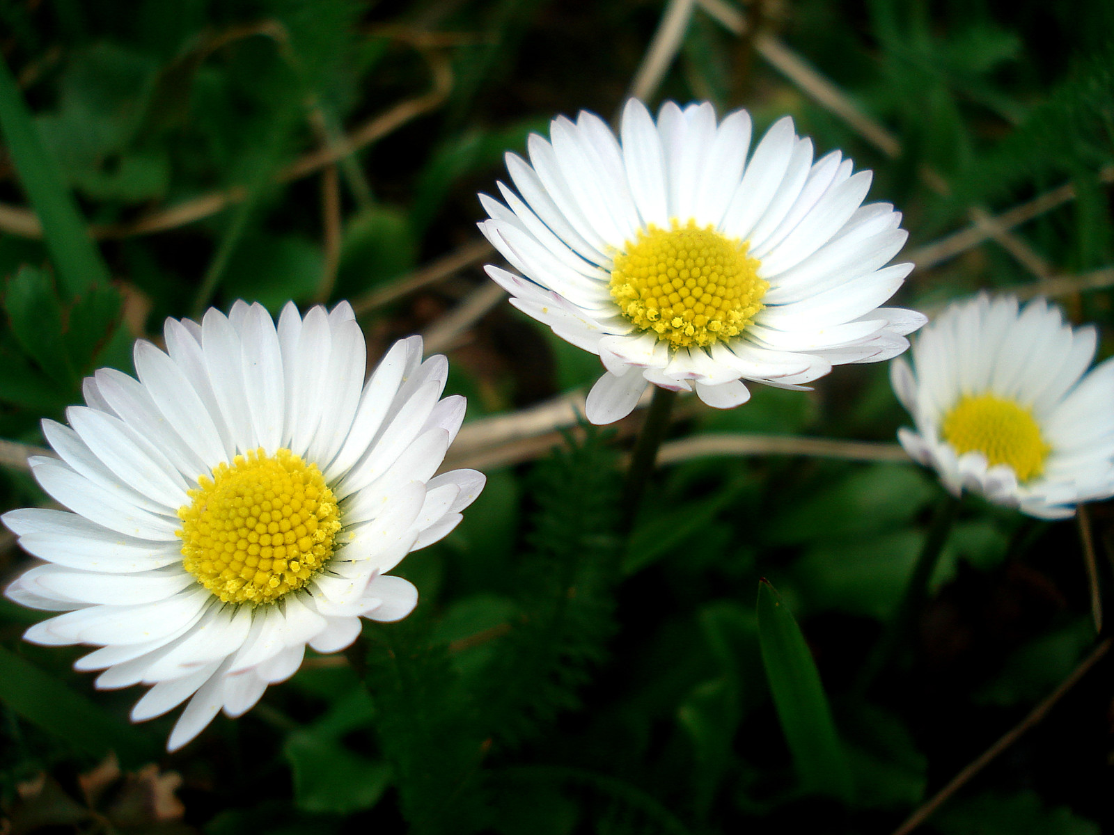 German Chamomile flowers - white petals and bright yellow centers with blurred greenery in the background
