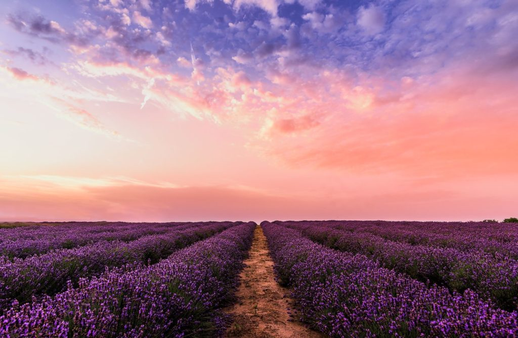 Lavender Flower Field at sunrise under pink and purple sky