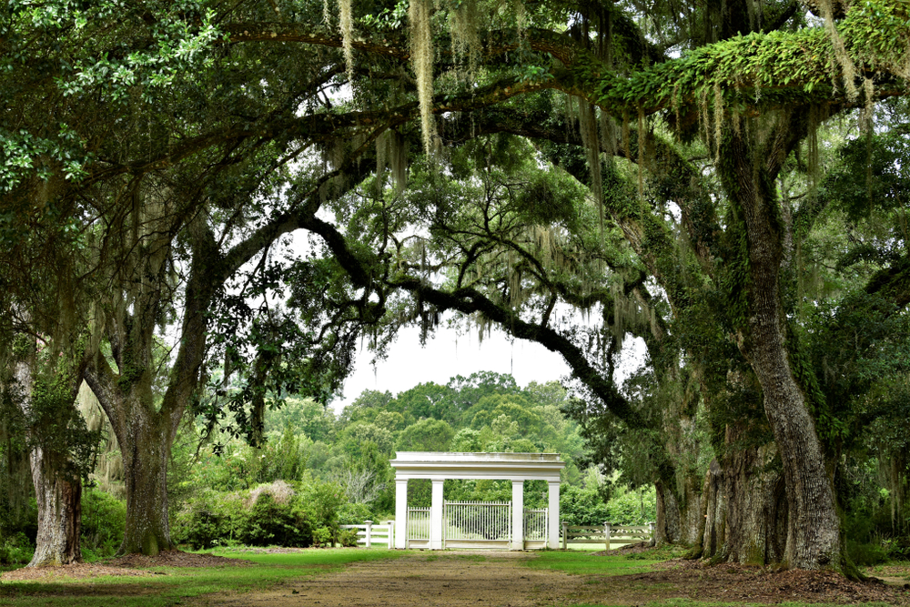 An avenue of overhanging oak branches leading to the entrance to the Rosedown Plantation in St. Francisville Louisiana