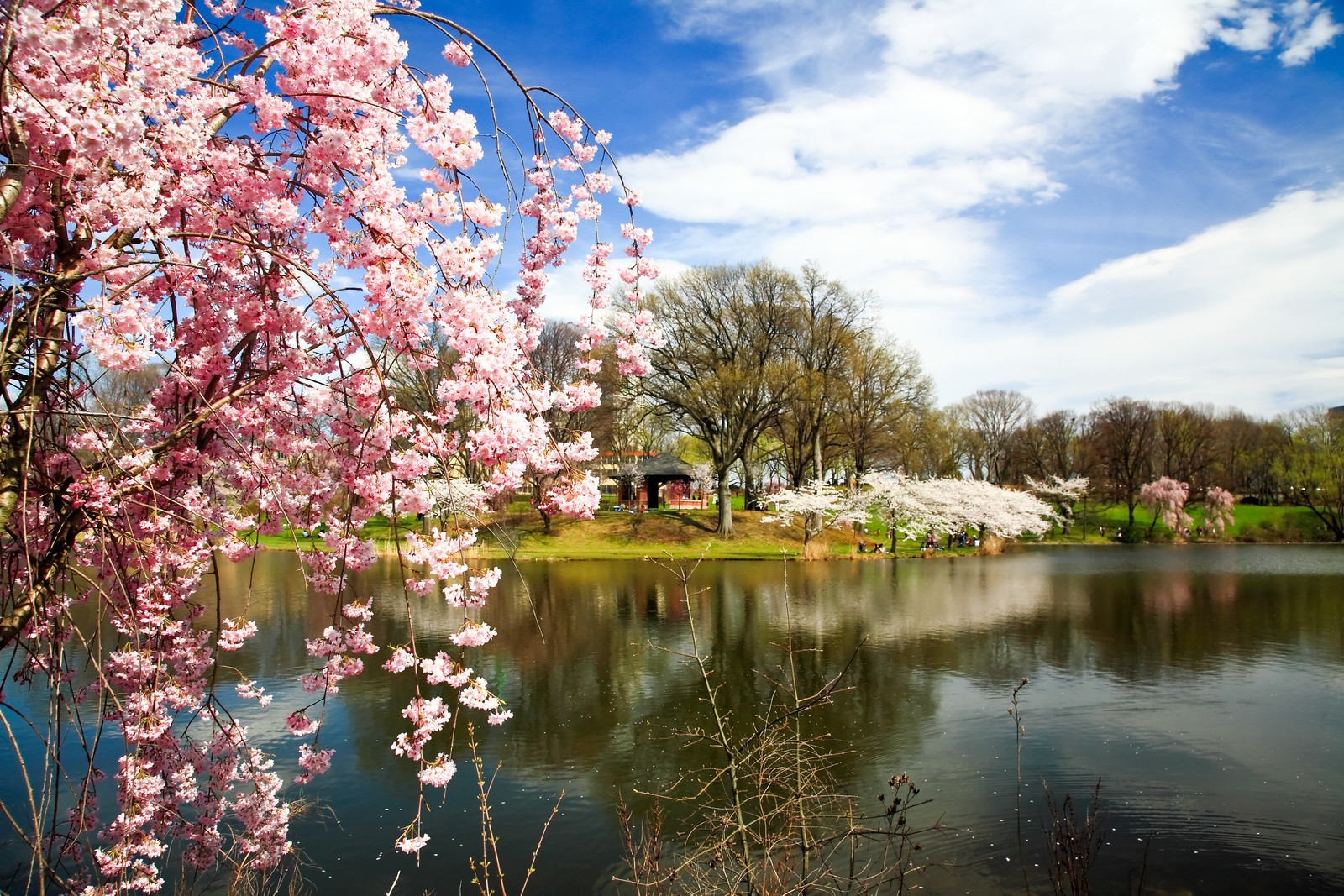 Photo at branch brook park looking across the lake with a close up of a pink cherry blossom and white and pink further away during The cherry blossom festival on a sunny day with blue skies